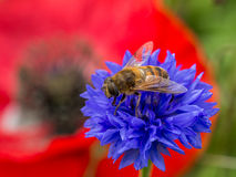 Bee on blue flower with poppy in background Royalty Free Stock Photo