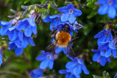 Bee on blue flowers. Springtime with a honey bee sucking nectar from a plant with blue flowers band delicate petals stock photo