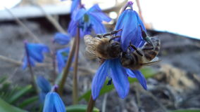 Bee on the blue flowers. Work, blue, snowdrop, insects, grass, nature color, dew, flower, spring, spring, bright, green, summer, fresh, macro stock image