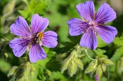 A bee on Blue Geranium in a garden, Latvia.  stock photos