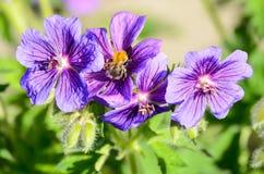 A bee on Blue Geranium in a garden, Latvia.  royalty free stock photos