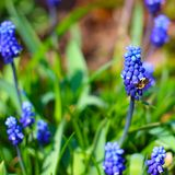 Bee on blue Grape hyacinth flower royalty free stock image