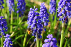Bee and blue hyacinth Stock Images