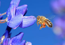 Bee on blue lupine. Bee with pollen on blue lupine Royalty Free Stock Photography