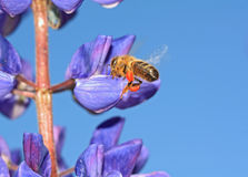 Bee on blue lupine Royalty Free Stock Photos