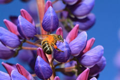 Bee on blue lupine Royalty Free Stock Images