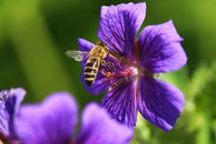 Bee. In a blue mallow Stock Image