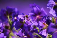 Bee. In a blue mallow Stock Images