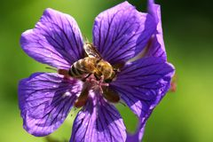 Bee. In a blue mallow Royalty Free Stock Photos