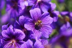 Bee. In a blue mallow Stock Photos