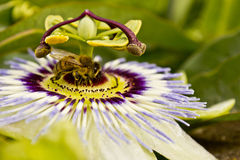 Bee on a Blue Passion Flower - passiflora edulis Royalty Free Stock Photos