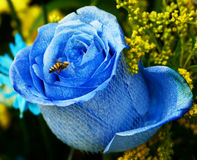 Bee on a Blue Rose Royalty Free Stock Images