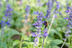 Bee on Blue Salvia garden with blur background. (Soften Style Stock Photography