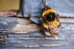 Bee on a blue wooden bench Royalty Free Stock Photos