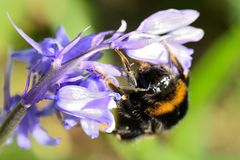 Bee on a bluebell flower Royalty Free Stock Photos