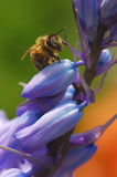 Bee on bluebells Stock Photo