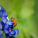 Bee and bluebonnet flower. Bee collecting pollen from Texas bluebonnet flowers royalty free stock photos
