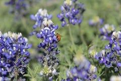 Bee on Bluebonnets. Bumblebee landing on bluebonnets Brenham, TX Stock Images