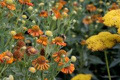 Bee Botanical Gardens. Botanical Gardens Montreal, Bumble Bee on orange flowers Royalty Free Stock Photos