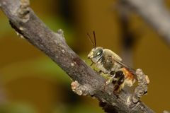 A bee on a branch Stock Photo