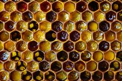 Free Bee Bread. Honeycomb With Pollen. Beekeeping Products. Apitherapy. Stock Photography - 112388402
