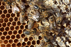 Bee breeding in farm Stock Image