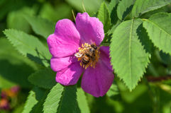 Bee briar wild rose Royalty Free Stock Images
