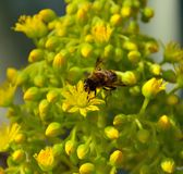 Bee on bright flowers of aeonium undulatum. Bee on bright wild flowers of aeonium undulatum Stock Photography
