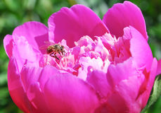 Bee on a bright pink peony Paeonia Royalty Free Stock Photo