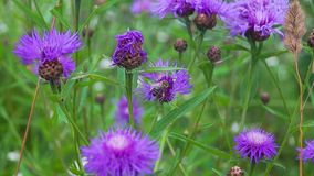 Bee on a bright summer meadow. stock footage