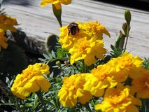 Bee On Bright Yellow Flowers. Pollinating royalty free stock photos