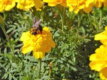 Bee On Bright Yellow Flowers. A bee on bright yellow flowers, during summer Royalty Free Stock Photo