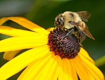 Bee on brown-eyed susan. A bumble bee collecting pollen from a yellow flower Stock Images