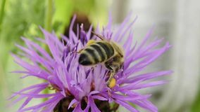 Bee on brown knapweed Royalty Free Stock Photo