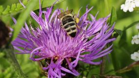 Bee on brown knapweed Stock Photos