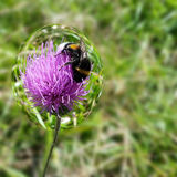 Bee in bubble. Bee in a bubble on a thistle flower Stock Image