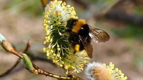 Bee on the Budding willow. Spring awakening of the nature stock video footage
