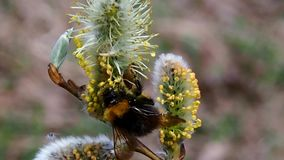 Bee on the Budding willow. Spring awakening of the nature stock video