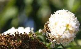 Bee on buddleja Royalty Free Stock Photography
