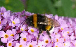 A Bumble Bee on a purple Buddleja flower Royalty Free Stock Photo