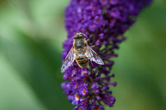 Bee on budlia Royalty Free Stock Photography