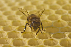 Bee build honeycombs Royalty Free Stock Photo