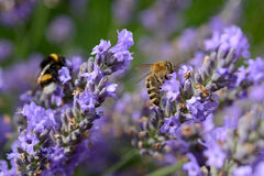 Bee and bumblebee on Lavender Royalty Free Stock Images