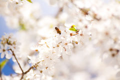 Bee on the bunches of cherry blossom Stock Photo