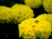 Bee Burrowed into The Flower to Feed on Nectar stock photo