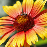 Bee busy drinking nectar from the flower Royalty Free Stock Images