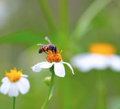 A bee busy drinking nectar Royalty Free Stock Photography