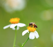 A bee busy drinking nectar Stock Photography