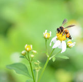 A bee busy drinking nectar Stock Photo