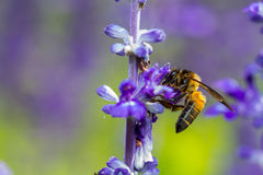 Bee busy drinking nectar from the flower Stock Image